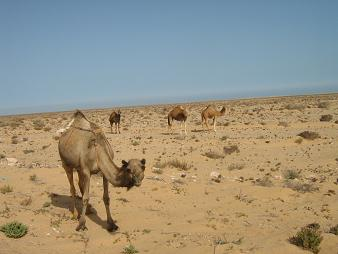 20090628203041-camellos.jpg